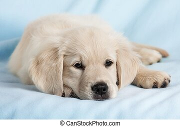 Funny small dog - Beautiful small puppy on blue background -...