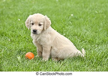 Funny small dog - Small puppy with ball - golden retriver