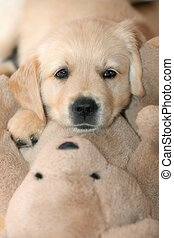 Funny small dog - Golden retriever puppylying on the teddy...