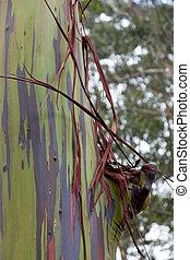 eucalipto, árvore, tronco