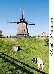 Dutch mill in Holland - Dutch mill with goat in front in...