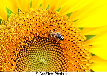 Sun-flowers and bee - Macro picture of bee working on a...