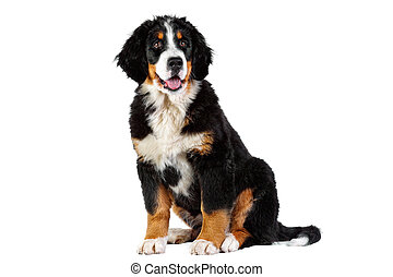 Puppy bernese mountain dog - 4 months (berner sennenhund,...