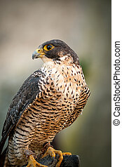 Peregrine Falcon Portrait Peregrine Falcon Portrait - Birds...