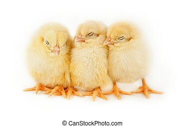 Sleeping Easter chicks - Sweet Easter chicks isolated on...