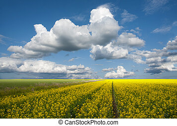 Rapeseed oil field on a sunny summer day
