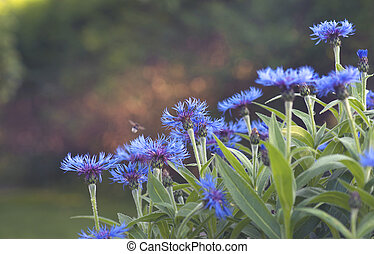 Cornflowers - Bunch of cornflowers with blurred bee in a...
