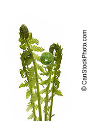 Fern - Close up of young wild fern in spring, isolated on...