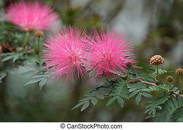 Mimosa Tree Blossoms in full powder puff Bloom