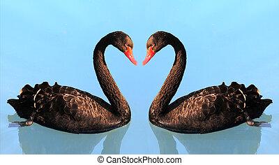 two swan in lake - swan in lake