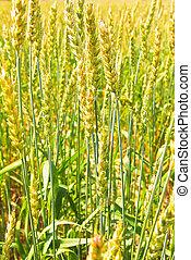 Wheat ears on field