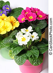 Colorful primroses in colorful pots - close up