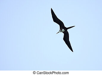 Ascension Frigatebird Fregata aquila