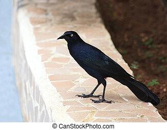 cubano, cuervo, (Corvus, nasicus)