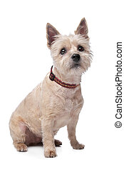 cairn terrier in front of a white background