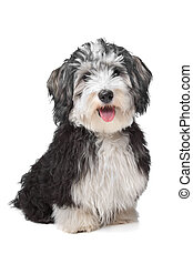 Havanese Bichon in front of a white background