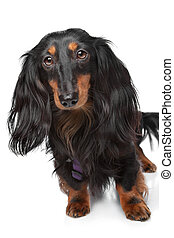 black and tan miniature dachshund in front of a white...