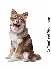 Finnish Lapphund puppy in front of a white background