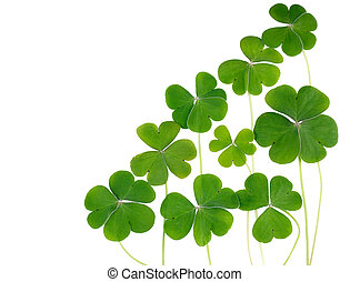 Shamrocks, three leafed clovers isolated on white. Copy...
