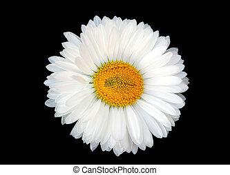 Beautiful white daisy isolated on black background