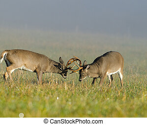 Two whitetail deer bucks sparring - Two whitetailed deer...