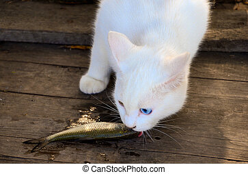 Cat eating a fish - White cat eating a little raw fish