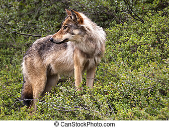 Wolf in Denali park - Alaska. - Lone wild animal on the...