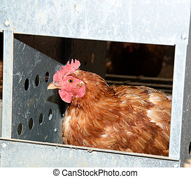 Chicken laying an egg - A chicken laying an egg inside of a...