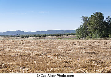 Rural landscape - Barley field harvested with poplar grove...