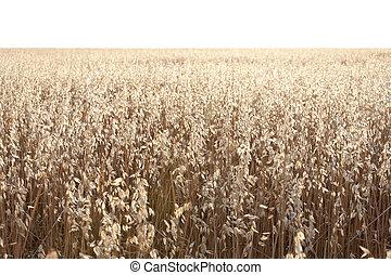 Oat field at daybreak in an agrarian landscape in Ciudad...