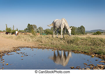 Horses grazing - Two horses grazing in a rural landscape in...