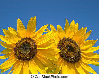 Double yellow sunflowers with a bright sky