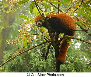 Red panda cimbing tree in India - portrait of a rare red...
