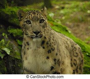 Snow leopard in Darjeeling, India - Large male snow leopard...