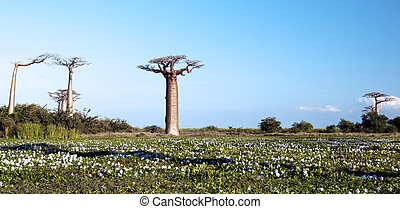 Baobab growing on the plain, Morondava, Madagascar