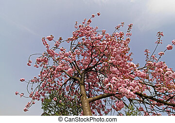 Japanese cherry tree in spring, Germany, Europe
