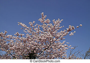Japanese cherry tree in spring, Lower Saxony, Germany
