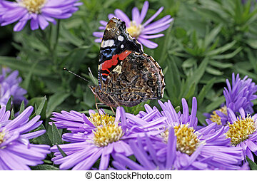 Red Admiral, Vanessa atalanta - Red Admiral butterfly...
