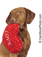 dog with red heart - vizsla dog holding red heart shaped...