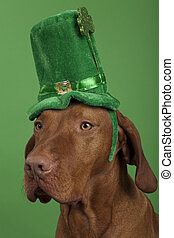 Dog with StPatricks Day hat - purebreed dog wearing a green...