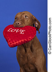 vizsla dog with red heart - vizsla dog holding a red heart...