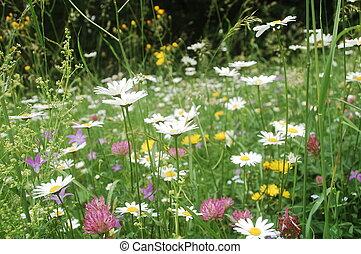 dense vegetation - ox-eye daisies, harebell flowers,...