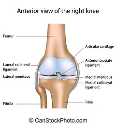 Human knee joint, eps8