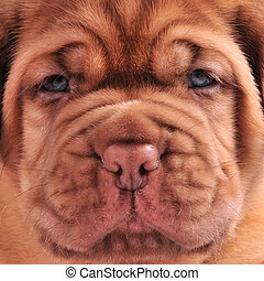 French Mastiff puppy muzzle close up