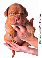 French Mastiff puppy in womans hands, isolated on white