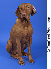 pure breed vizsla dog sitting in studio on blue background