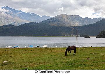 Sleek  bay horse grazing