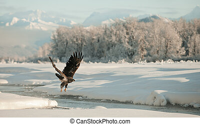 Bald Eagle flying against snow-covered mountains of Alaska....