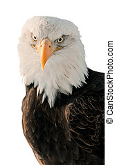 Close-up Portrait Bald Eagle Haliaeetus leucocephalus...