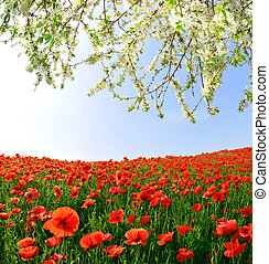 red poppy field - spring landscape with red poppy